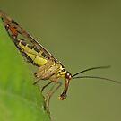 Scorpionfly Feeding by Robert Abraham