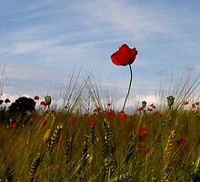 poppy by Anne Seltmann