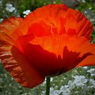 Poppy Lantern by ienemien