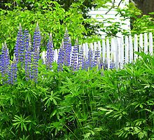 Lupines by picket fence by Patty Gross