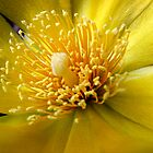 Cactus Flower by goldrose