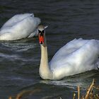 Swans by SimplyScene