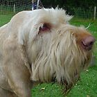 Italian Spinone Hunting Dog by Paul Morley