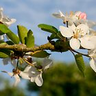 Apple Blossom Time by Diane Nemea Laessig
