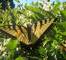 Tiger Swallowtail by jensch8