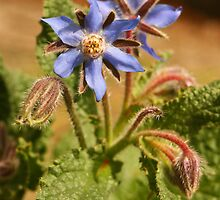 Blooming Borage by Diane Nemea Laessig