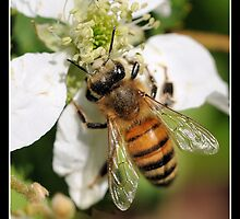 Honey Bee by PamelaJoPhoto