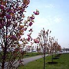 Late Pink Cherries, Avenue East, Liberty by Jim Legge