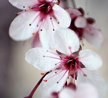 Cherry Blossoms by Lita Medinger