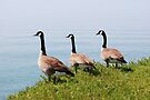 Three Geese In A Row by Lynda  McDonald