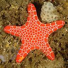 Red Brick Sea Star by Andrew Trevor-Jones