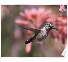 Anna's Hummingbird at Bolsa Chica Wetlands Poster