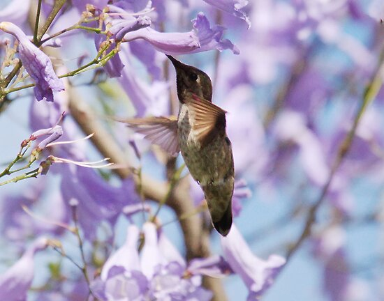 Hummingbird Visits the Jacaranda by Susan Gary