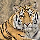 Tiger by Joe Thill