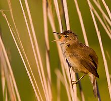 Reed Warbler by Neil Bygrave (NATURELENS)