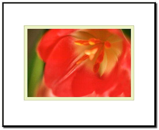 Tulip by ChrisBaker