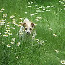 ~Decker, In the Daisy Patch~ by NatureGreeting Cards ccwri