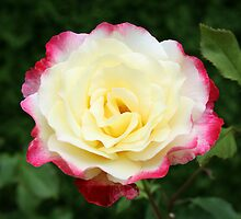 Two-tone Rose by Rusella