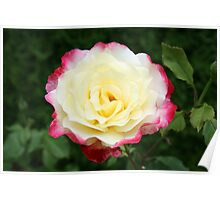 Two-tone Rose Poster