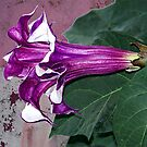 Purple Datura Flower by Glenna Walker