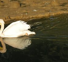 pelican swimming in the river by KERES Jasminka