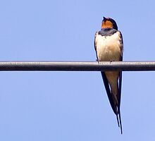 Swallow on a wire by woolleyfir
