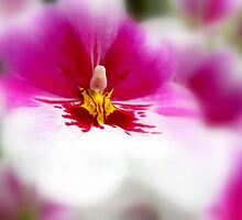 Orchid softness by Olga