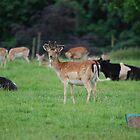 Ripley Deer Park by dougie1