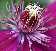 Clematis In Deep Pink by Deborah  Benoit