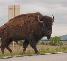 Why did the Bison cross the road? by Charles Diaz