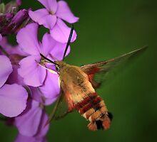Clearwing Hummingbird Moth II by Renee Dawson