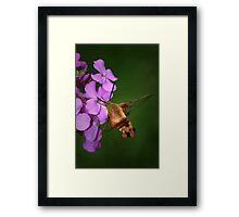 Clearwing Hummingbird Moth II Framed Print