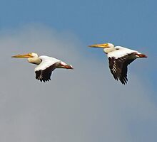 American White Pelicans over Fern Ridge Lake by Chuck Gardner