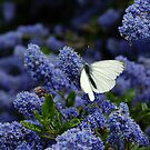 White Butterfly on the Humming Bush by James Stevens