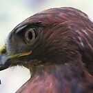 Redtail hawk by carpenter777
