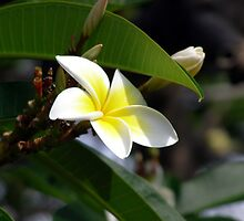 Yellow White Frangipani 3 by Tim Stringer