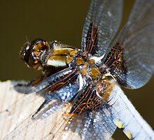 Broad-bodied Chaser (Libellula depressa) by Steve Chilton