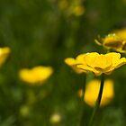 Meadow Buttercup (Ranunculus acris) by Steve Chilton