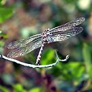 Dragonfly by foxyphotography