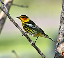 Cape May Warbler by Teresa Zieba