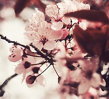 Cherry Blossoms by nikkidahl