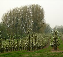 Orchard with trees with mistletoe by Ireentje
