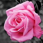 Bright Pink Rose by Daniii