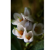 blossoms of Cowberry (from wild flowers collection) Photographic Print