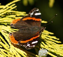 Red Admiral by AnnDixon