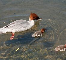 Diving duck family by zumi