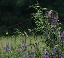 "PURPLE ""HAIRY"" VETCH (Vicia Villosa Roth) by Lori Deiter"