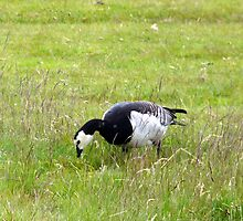 Barnacle Goose Grazing by HELUA