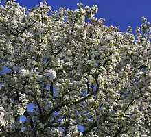 White Crabapple Tree by Adam Bykowski