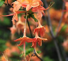 wild azalea by sherry selby